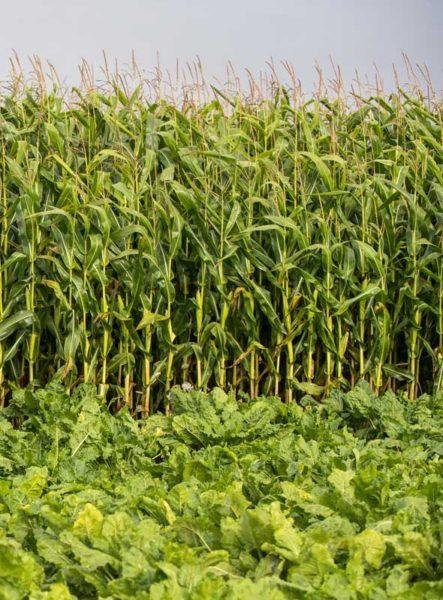 Par soucis de gain de temps à la récolte, beaucoup d'agriculteurs implantent leur betterave en milieu de parcelle. Ici, entourée de maïs par exemple.