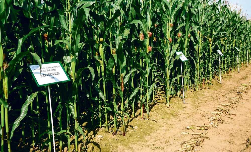 Photo of Les critères prioritaires pour choisir ses variétés de maïs