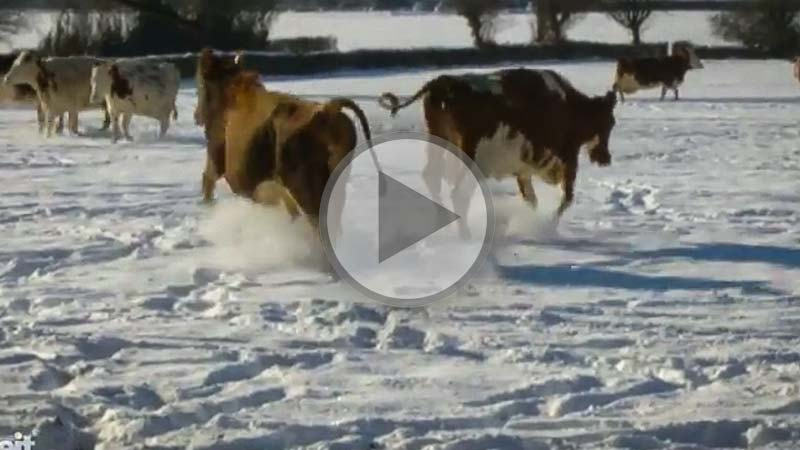 vaches-neige