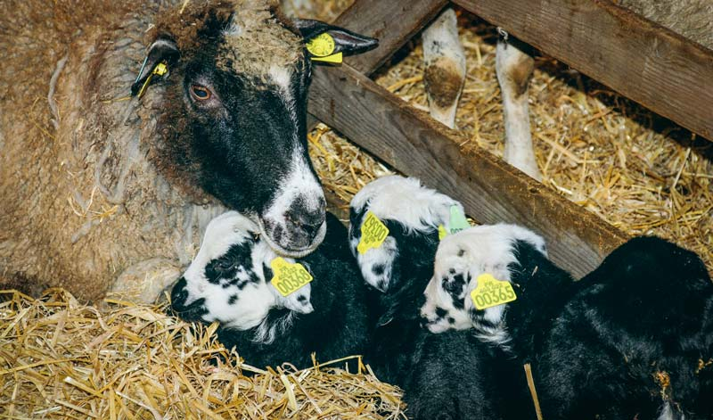 agneau-ovin