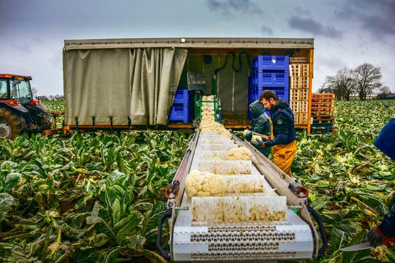 Photo of Chou-fleur : Un repli des récoltes à l'automne