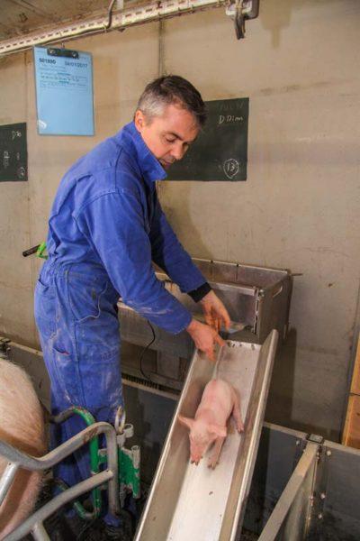 Le toboggan réduit les contraintes physiques liées à la pose du porcelet au sol.