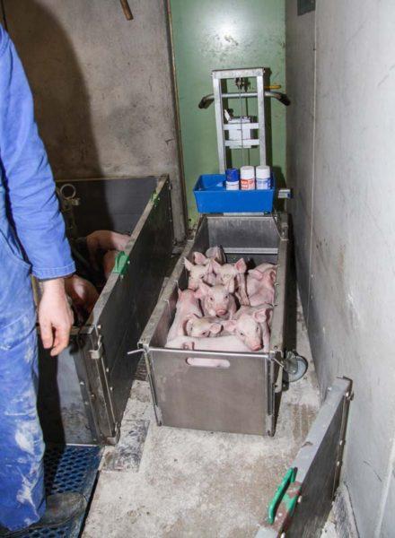 Les porcelets sont parqués en toute sécurité dans la caisse, qui sera relevée à hauteur d'homme grâce au treuil manuel.