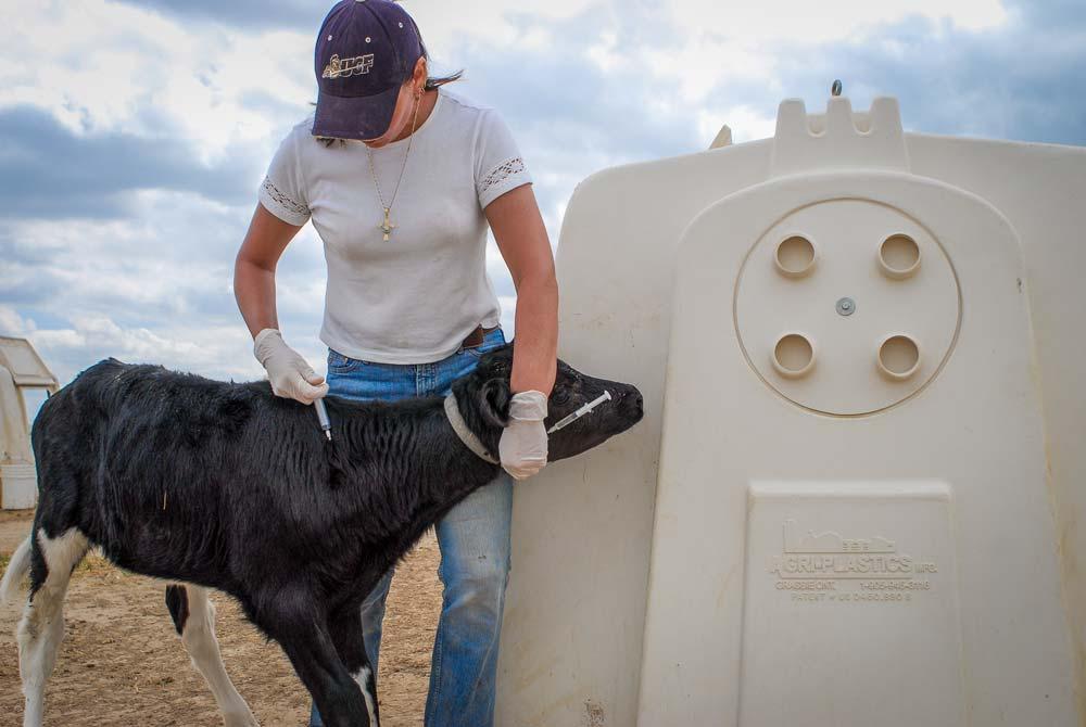 Photo of Diarrhée du veau : Vaccination contre malfaiteurs associés