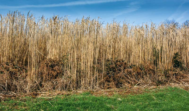 Photo of Miscanthus : la progression des surfaces s'accélère