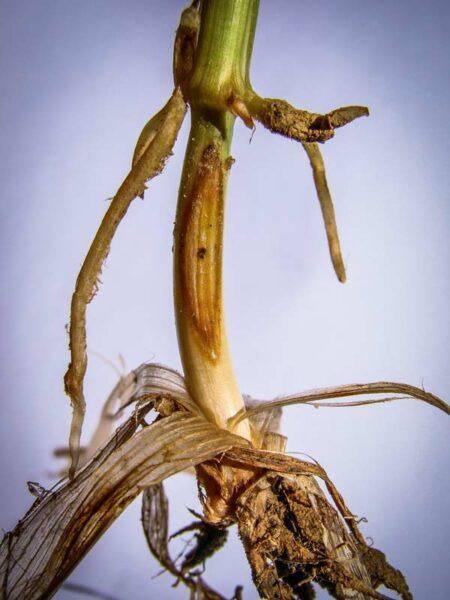 Piétin verse : 1 seule tache située sous le 1er nœud. La bordure de la tâche est peu délimitée, diffuse. Elle présente le plus souvent un stroma (mycélium du champignon) en son centre.