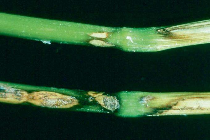 Rhizoctone : De une à plusieurs taches souvent imbriquées les unes dans les autres. Visible jusqu'au 3e nœud.  Le centre des taches est clair à presque blanc nacré. La bordure est bien délimitée.