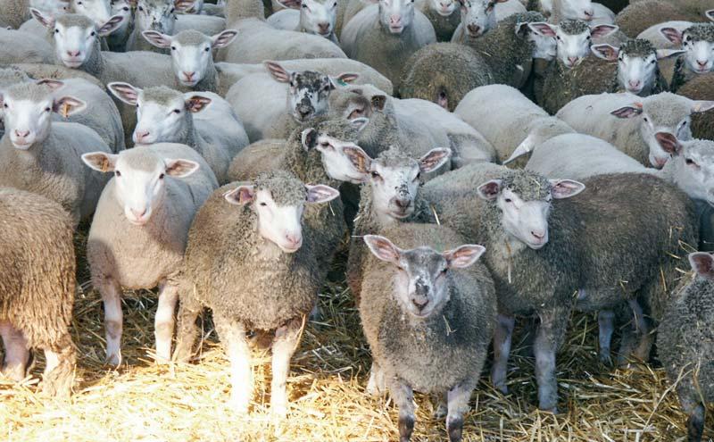 Photo of La filière ovine fragilisée par le libre-échange