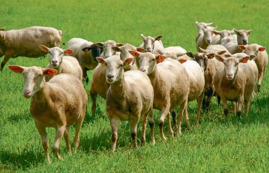 Photo of Comment optimiser les prairies pour les ovins