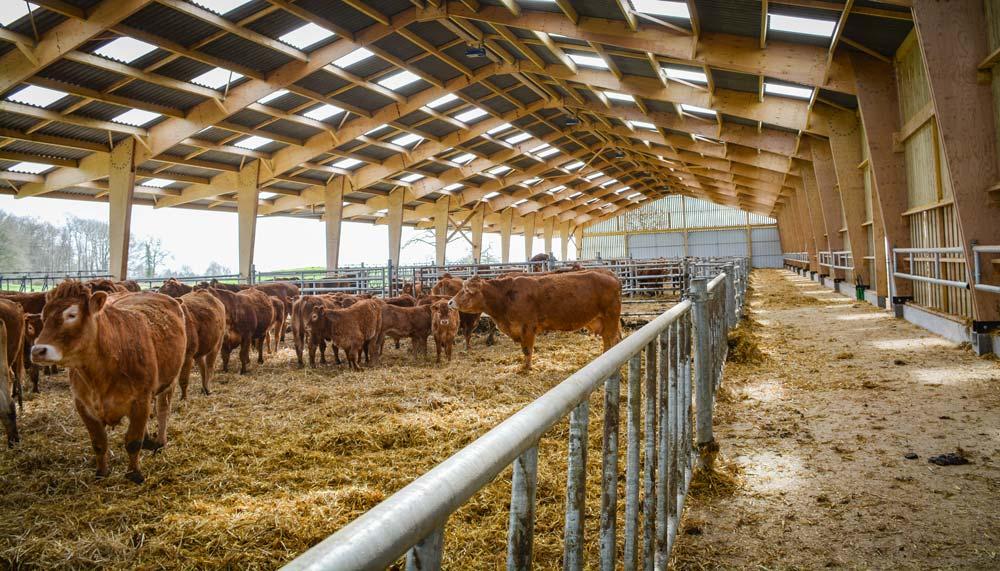 un b timent r fl chi pour des vaches et des veaux bien log s journal paysan breton. Black Bedroom Furniture Sets. Home Design Ideas