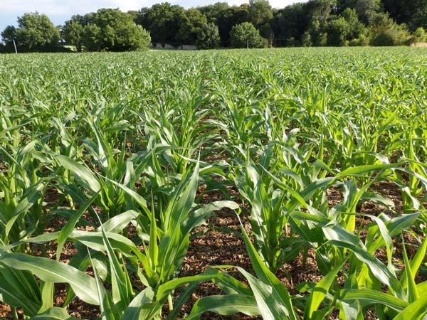Le semis en twin-row permet une meilleure occupation de l'espace par la végétation et les racines.