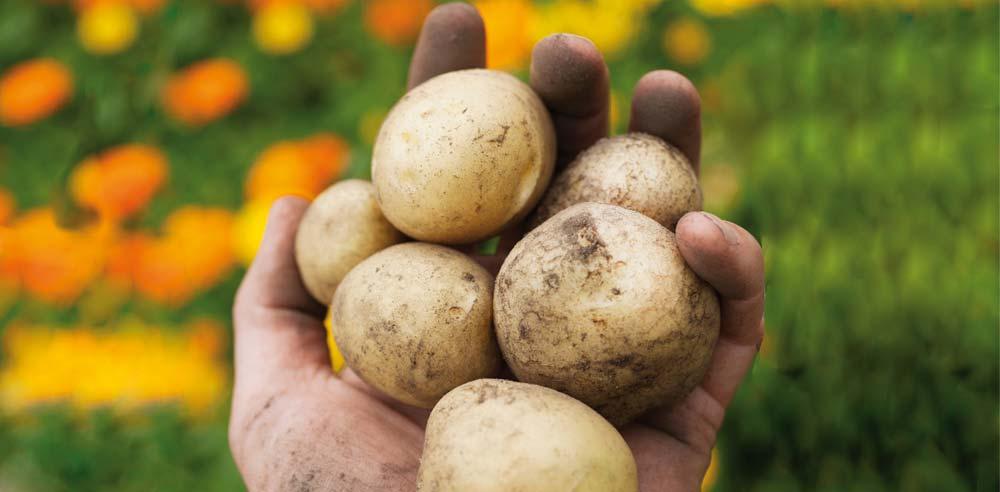 Photo of Espagne : des stocks de pommes de terre proche de zéro