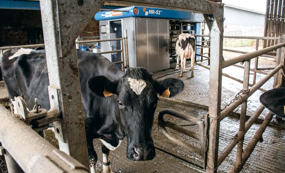 «L'aire d'attente devant le robot est libre d'accès car les vaches n'aiment pas être enfermées. Elles y sont attirées par la présence de l'abreuvoir, le Dac du robot et la possibilité d'accéder ensuite au pâturage après la traite ».