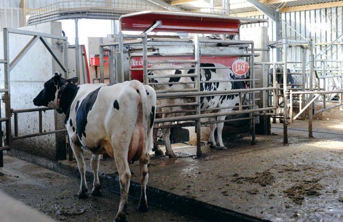 Pour un troupeau de plus de 60 vaches sur la stalle, tournant à une moyenne de 30 kg de lait, Paul Lacombe conseille de respecter les fondamentaux suivants pour optimiser les traites: les animaux produisant moins de 24 kg de lait quotidien ne peuvent passer au robot que toutes les 10 heures (2,4 traites par jour); les animaux à plus de 40 kg peuvent être acceptés toutes les 4 heures (soit jusqu'à 4 traites par jour) dans le box. Les vaches produisant entre 24 et 40 kg ont accès au robot entre 2,4 et 4 fois par jour, l'intervalle de temps entre deux visites permises évoluant alors progressivement en fonction des performances laitières.