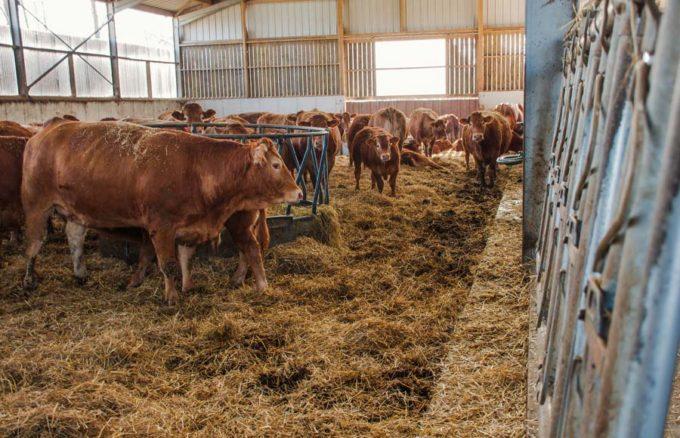 Pour manger, les vaches montent juste sur une marche. L'auge est en creux dans le couloir d'alimentation.