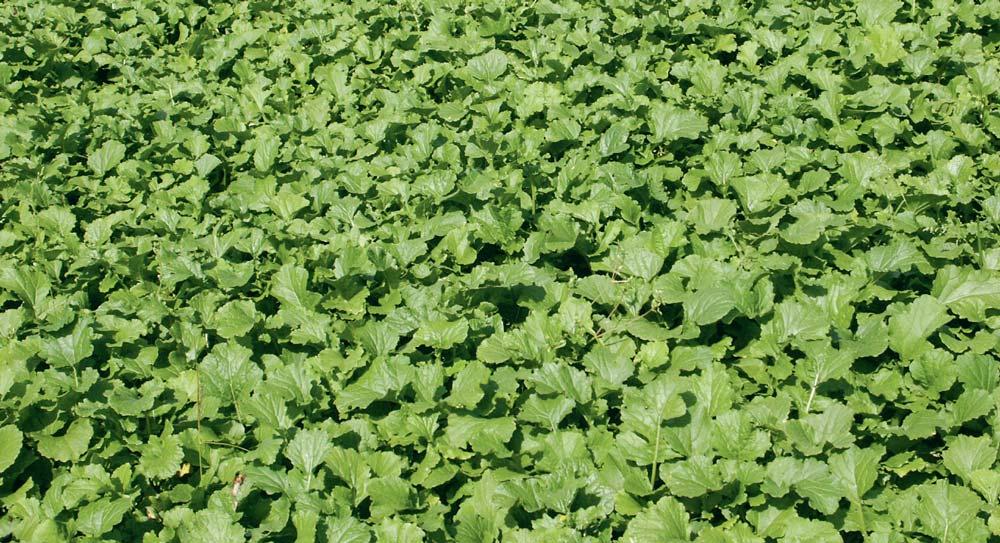 Navette-couvert-vegetal