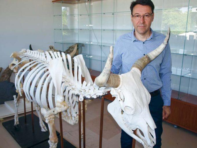 Claude Guintard avec le squelette de Rambouille, un Aurochs mâle, mort en 1996. Il trônera bientôt dans le hall d'honneur de l'École vétérinaire de Nantes.