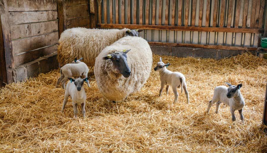 Les 4 agneaux Bleu du Maine, âgés de 5 jours, issus des deux dernières mises bas du troupeau.