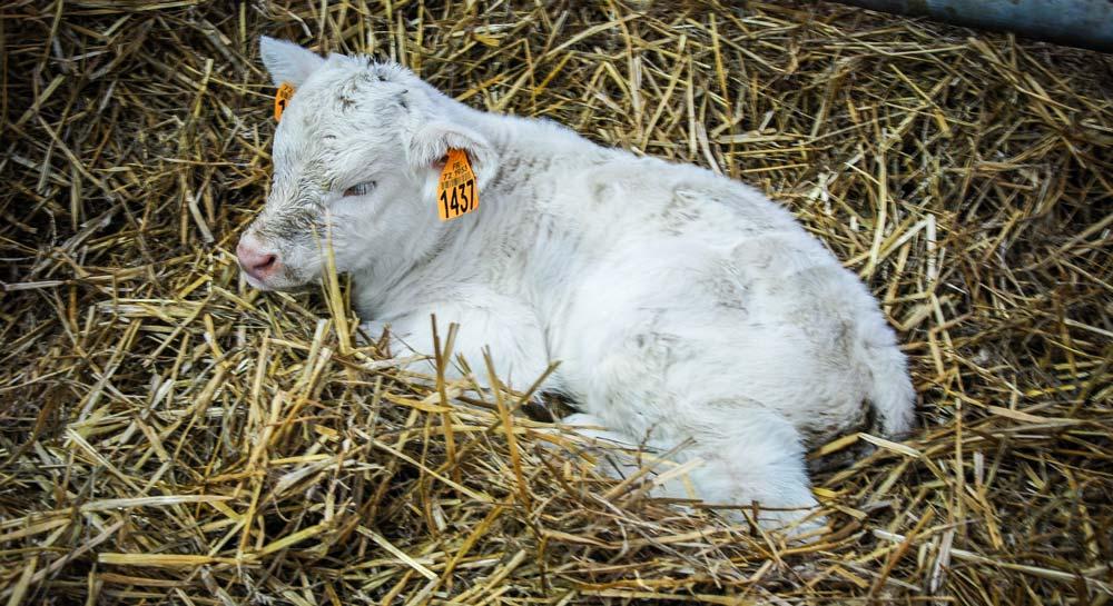 Photo of Bien gérer les premières heures de vie du veau
