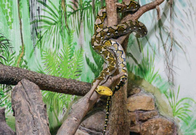 Le python réticulé est le plus long des serpents et peut atteindre les 9 mètres. Il peut dépasser l'âge de 20 ans en captivité.