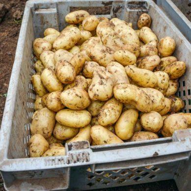 Paysan breton journal technique agricole - Traitement pomme de terre ...