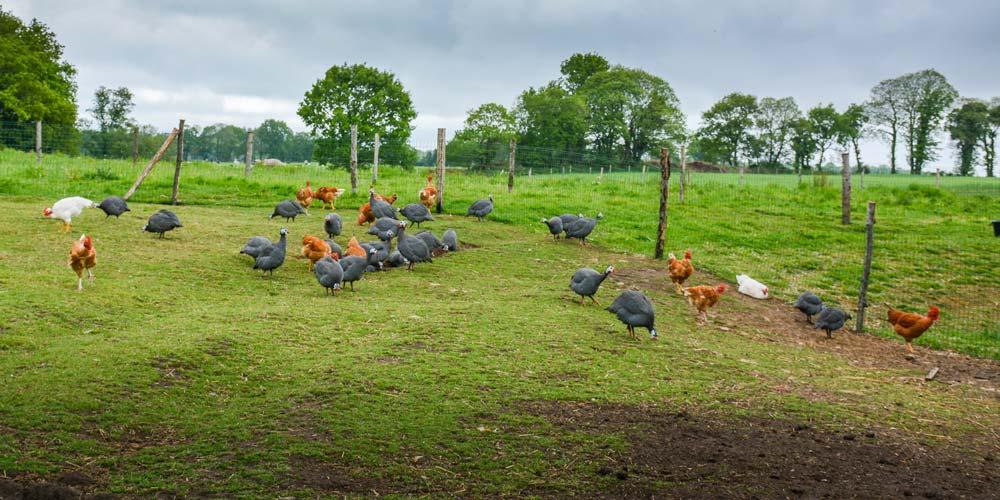 Sur 4 ha autour de l'élevage, différents parcours sont délimités pour que la végétation puisse repousser entre chaque bande de volaille.