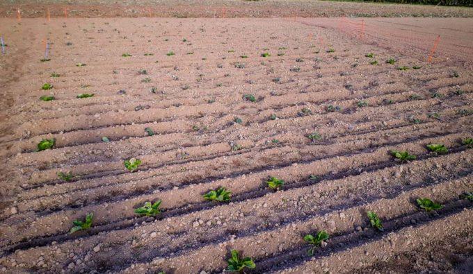 Les choux chinois sont plantés en périphérie de la culture de brocolis (au centre).