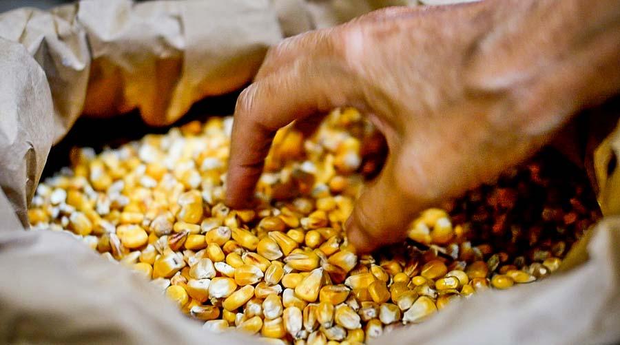 Photo of Le maïs,des animaux bien nourris, des produits de qualité
