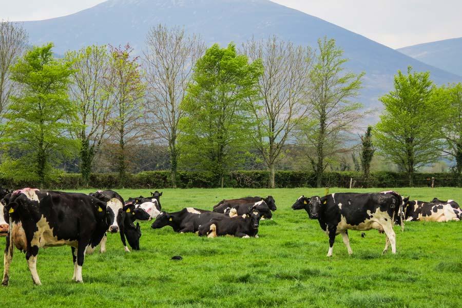 Irlande-lait_Troupeau-James-et-Pat-2