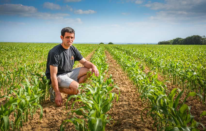 Laurent Geffroy dans une de ses parcelles de maïs, deux semaines après un passage de houe rotative et un désherbage.