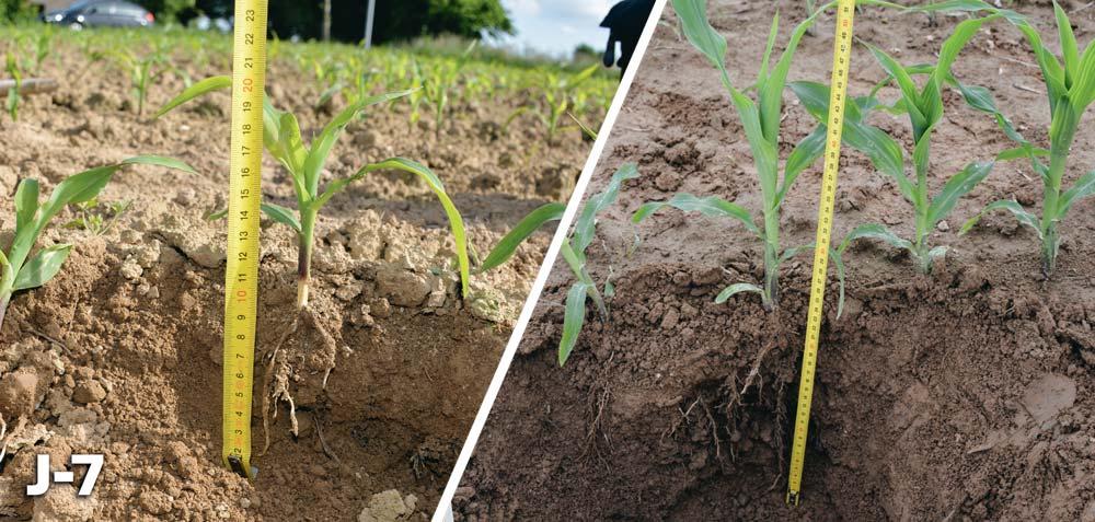 Photo of Point sur le maïs : un fort développement des racines