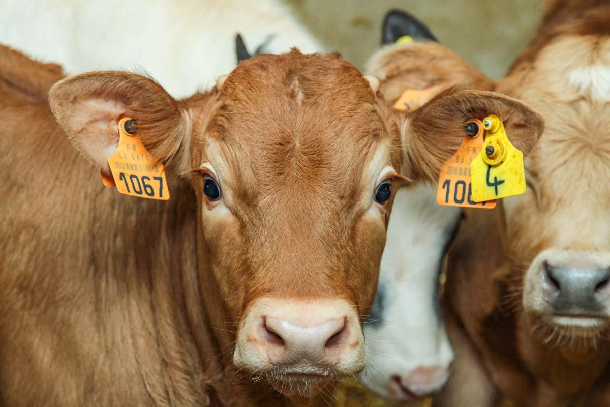 Photo of Grâce au veau, un lait valorisé à 400€/1000L