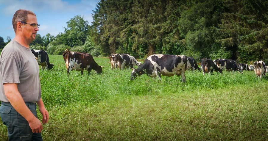Actuellement, les vachesde Ludovic Massard pâturent une parcelle d'un mélange riche en légumineuses favorisées par la sécheresse.