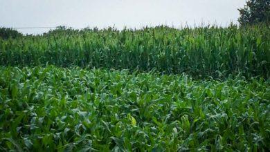 Photo of Le point maïs : une pluie bienfaitrice