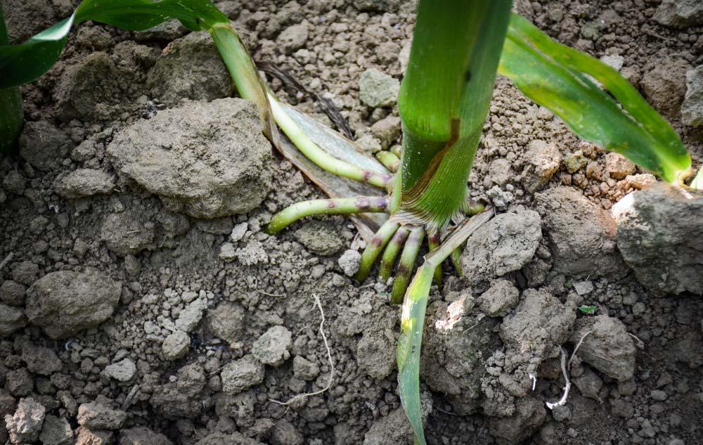 Photo of Le point maïs : les racines d'ancrage se sont développées
