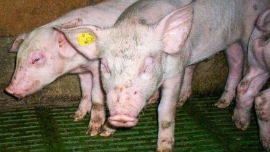 Photo of Porc : combattre l'œdème et gagner en performance