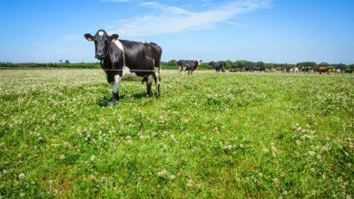 Photo of Tendre vers l'optimum du coût alimentaire en lait