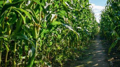 Photo of Maïs : suivre le remplissage du grain