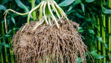 Photo of Le point maïs : l'extraordinaire prouesse des racines