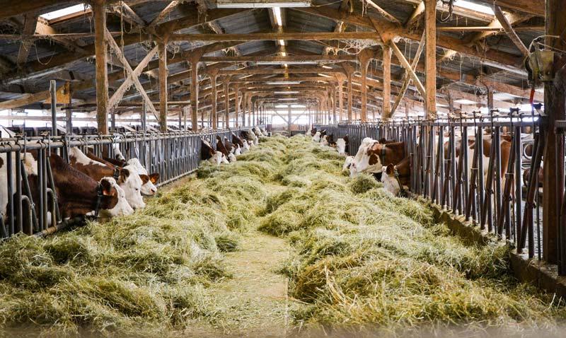 Le foin séché en grange constitue le pilier de la ration de base hivernale.