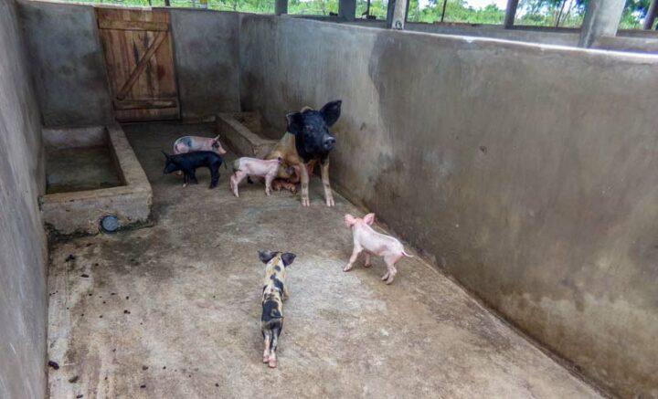 En porc, la productivité est de 7 porcelets/portée.
