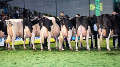 Photo of Prim'Holstein : un éleveur breton juge au Space, une première