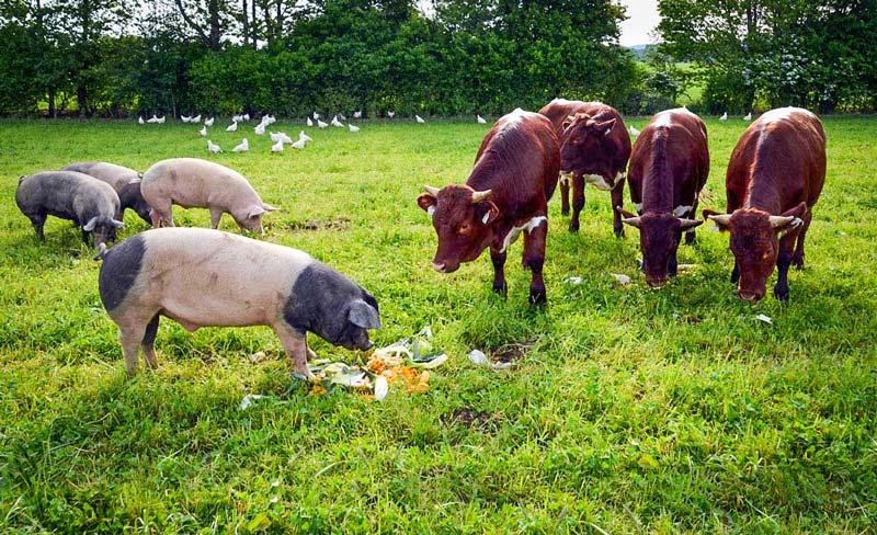 Volaille, cochons, bovins dans une même parcelle: c'est le concept d'élevage symbiotique mis en place par l'agriculteur allemand.