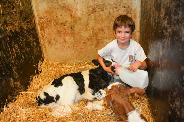Un veau bien élevé donnera une belle productrice… À 5 ans, le jeune Sacha est déjà passionné par les animaux.
