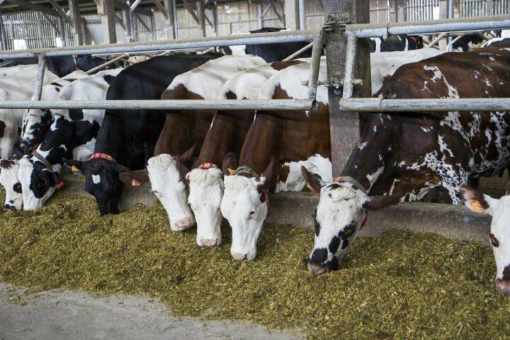 Les vaches ne trient plus, et mangent tout.