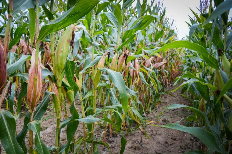 À Arzano (29), le taux de matière sèche par infraliseur s'élève à 31,5 %. La plante dessèche, le grain est au stade pâteux. Avec la baisse des températures, l'ensilage est prévu pour la semaine prochaine.
