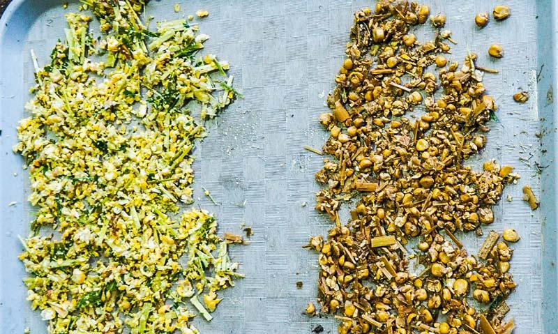 Le test du seau le jour de l'ensilage au champ permet de vérifier les grains éclatés (à gauche) a contrario d'une présence trop importante de grains entiers (à droite) nécessitant de resserrer l'éclateur de l'ensileuse.