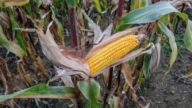Photo of Maïs : malgré la pluie, la maturité du grain évolue
