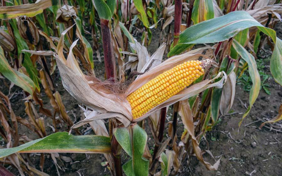 Si le maïs plante entière gagne actuellement 2 points de MS par semaine, le grain quant à lui évolue à raison de 0,5 point MS/jour.