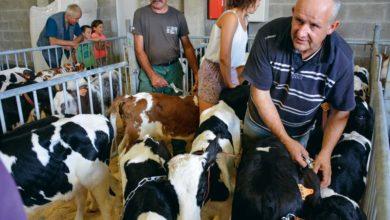 Photo of Plus de 80 veaux vendus au cadran, à Plouay